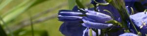 BlueFlower-300x75