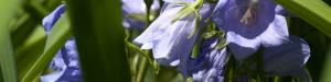 BlueFlower2-300x75