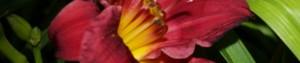 cropped-redLilly-300x63