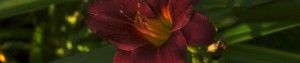 cropped-redLilly2-300x63