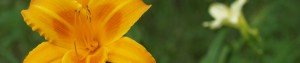 cropped-yellowlilly-300x63