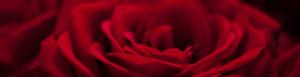 rose-300x77
